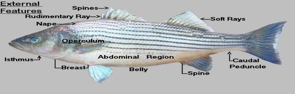 Striped-Bass-Anantomy